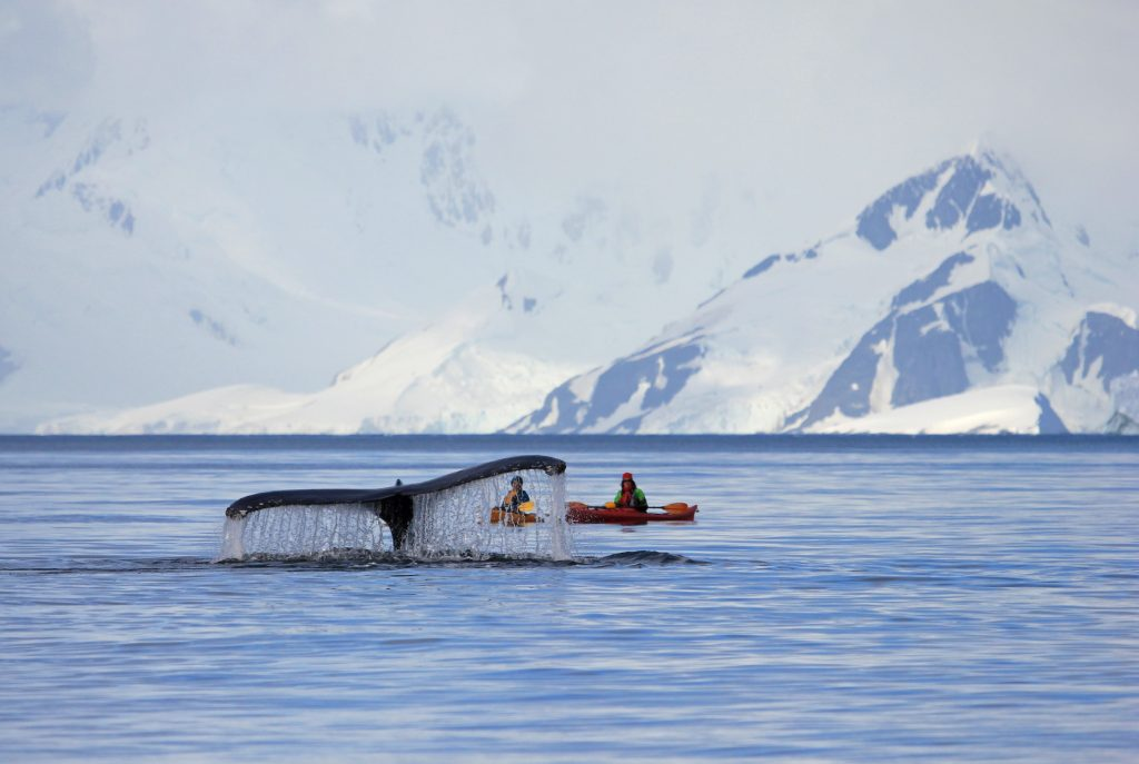 Humpback whale diving into antarctic water