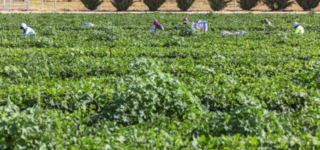 코로나19 규제로 수확기 인력 2만 6000명 부족